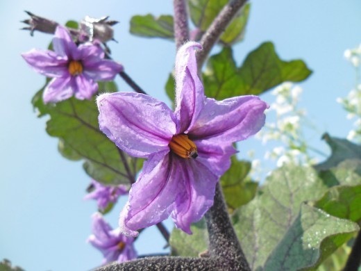 Eggplant, also know as the aubergine, is a member of the plant family Solanaceae, shown here flowering in full bloom