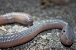 Overview of Earthworm Anatomy