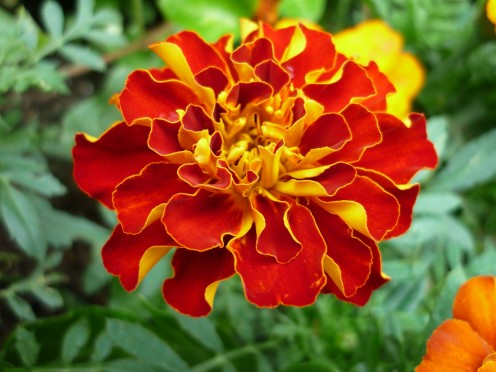 Bright colour all summer long with ruffled marigolds.