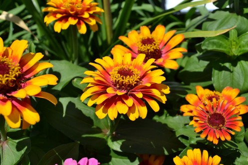 Zinnias can have single blossoms or ones with a myriad of petals.