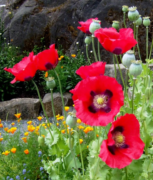 Brilliant contrasts between bright petals and dusky centers make poppies stand out.