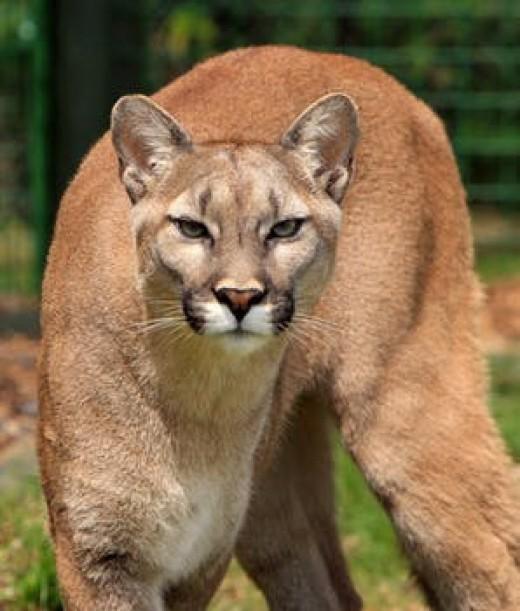 A wild cougar seeking his prey.
