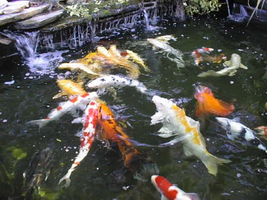 Tips for raising koi in your pond hubpages for Koi fish in pool