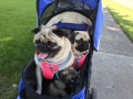 I have 3 pugs  ages 5, 2. 1 1/2     older ones are females  we recently made a move to a new home
