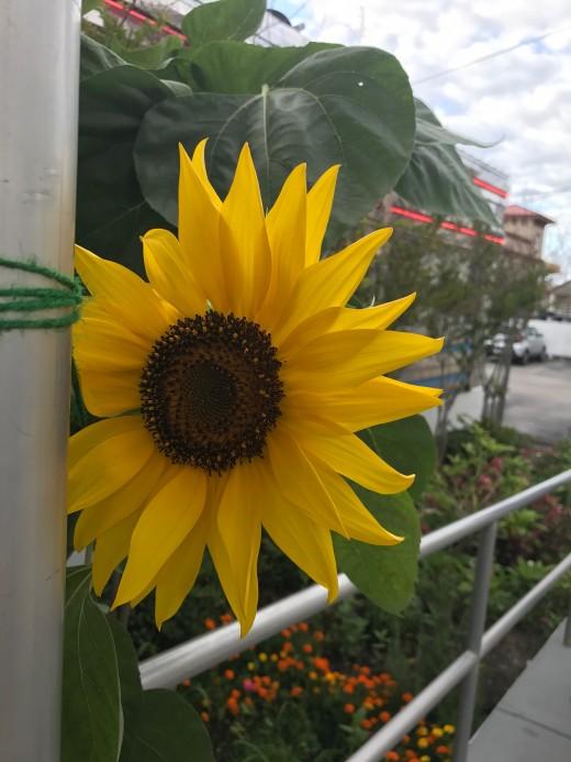 Sunflower outside Georgie's Diner