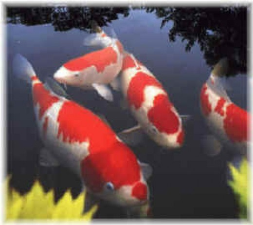How to keep your koi healthy and alive hubpages for Koi fish predators