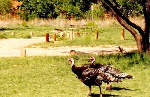 Wild turkeys in Palo Duro Canyon
