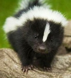 What to Do During a Skunk Encounter While Running