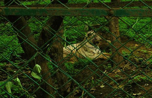 Tiger Safari - caged tiger