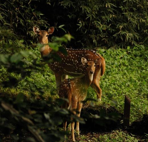 Deers in SGNP