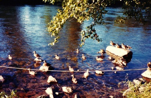 Ducks along the Rogue River