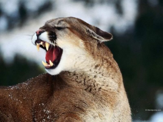 Roaring mountain lion.  Look at those teeth!