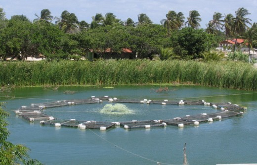View over tilapia cages