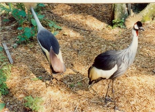 African Crowned Cranes at Silver Springs, Florida