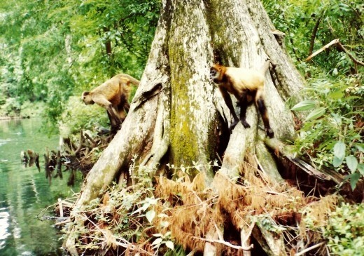 Many monkeys on this island living freely in a natural habitat at Silver Springs, Florida.