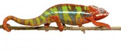 Where Do Chameleons Live in the World?
