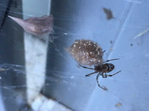 Common house spider with egg sac and spiderlings