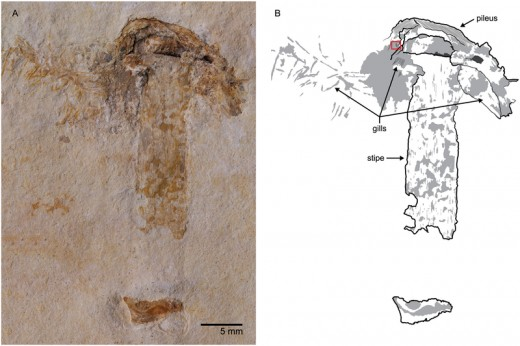 The fossil mushroom and a sketch showing the gills, hood and stem.