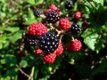 Grow and harvest your own blackberries