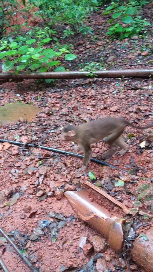 Monkey in Matheran