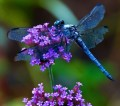 The Amazing Dragonfly