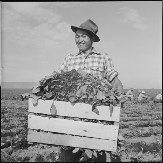 Tule Lake Relocation Center, Newell, California. An evacuee is shown with a crate of spinach. his smile seems to show that he is proud of the high quality of this crop. 8 September 1942