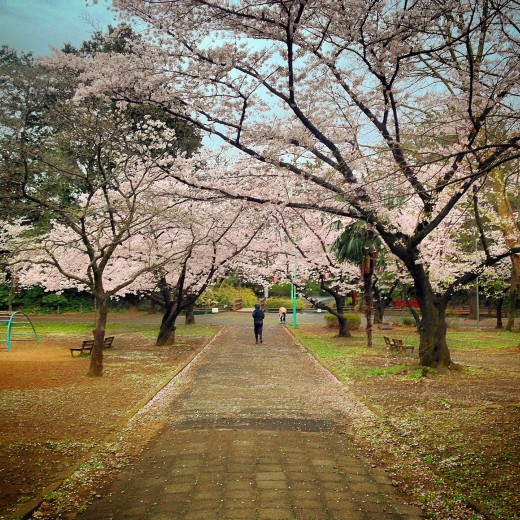 "The iconic ""Sakura"" cherry blossom in my local park."