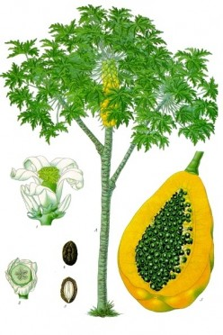 How To Grow Papaya Trees In Your Garden