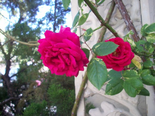 Climbing roses in Reno