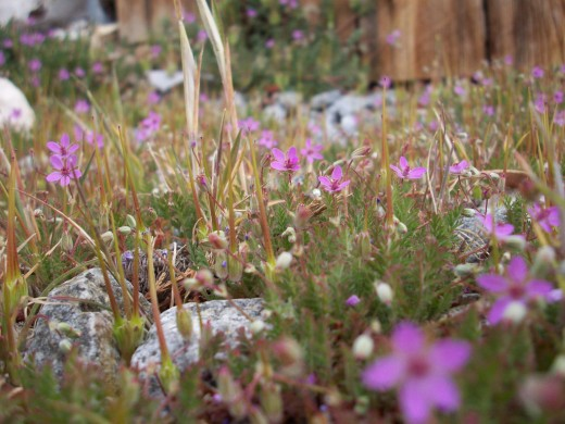 Also known as redstem filaree, common storksbill, or pinweed this is a common Reno weed.
