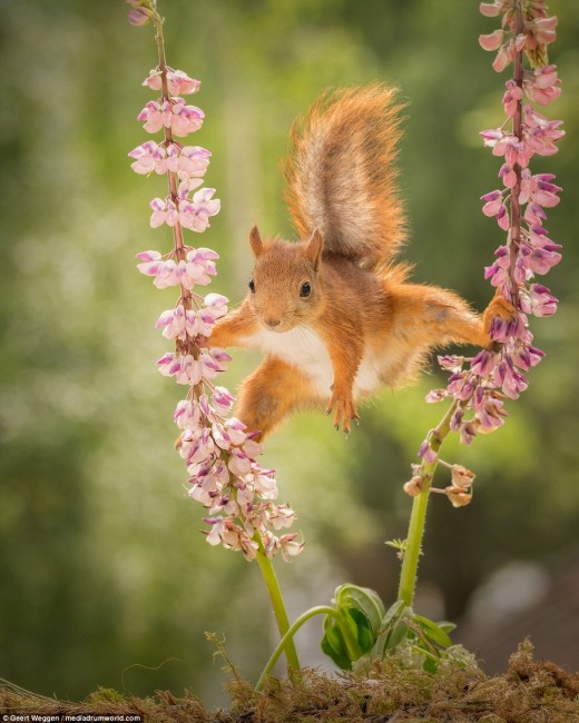 Squirrels can be considered pets, especially when it appears that they are knowledgeable in yoga.