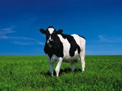 Best Breed of Cow for Your Farm