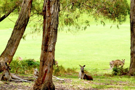 Kangaroos hanging out at Anglesea Golf Course