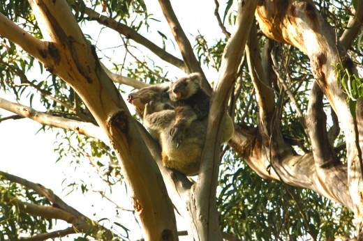 Koalas in Tree Kennett River Australia