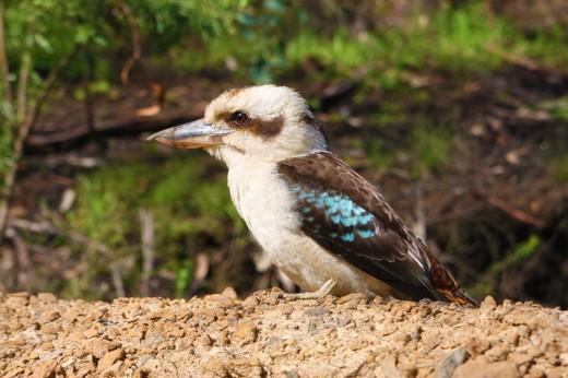 Wild Kookaburra: Kennett River