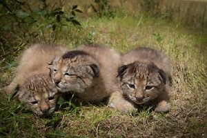 A typical litter of three cubs, but the odds unfortunately are that only two will make it to adulthood.