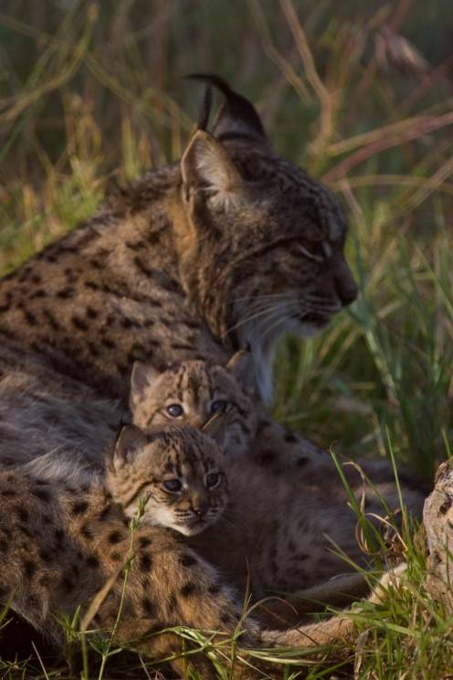 An Iberian Lynx mother with her cubs. Find out how you can help save future lynx families like this one in this article.