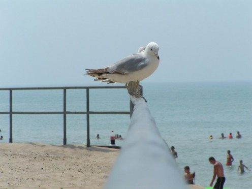Silly pigeon, there are no bird chiropractors.