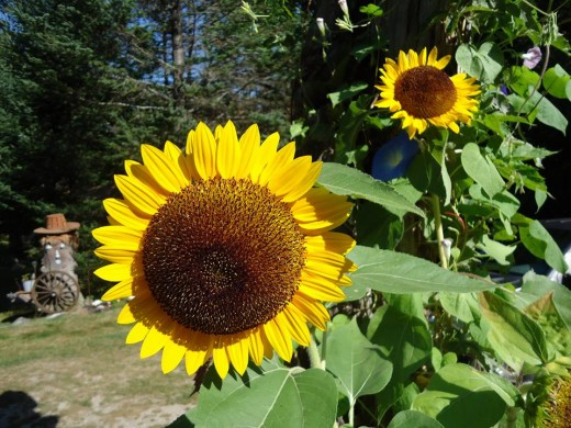 Sunflowers by the cabin