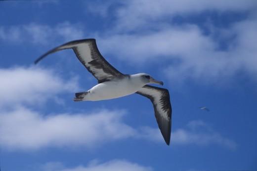 The seabird-the Albatross