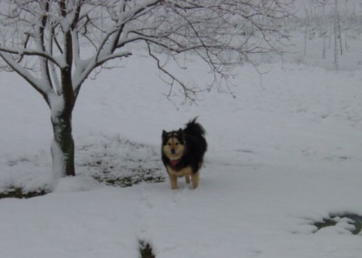 The large wolf-like dog stood at a distance, his muscullar bulk quivering with anticipation.