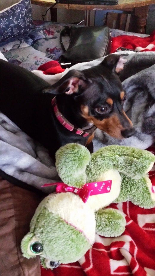 Chi Chi, my spoiled rotten Chiweenie loves his stuffed toys. Never tearing them up.  Finding play time with his human mom.