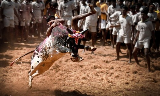 Facing the raging bull unarmed - Jallikattu, Tamil Nadu