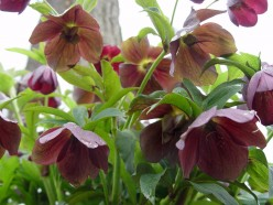 How to Plant and Care for Lenten Roses