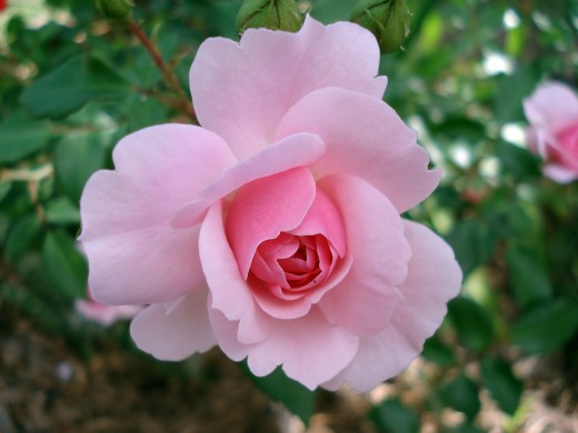 If We Can Smell a Rose by Looking at Its Picture---We Can Also Create a New Reality by Holding Its Picture in Our Mind