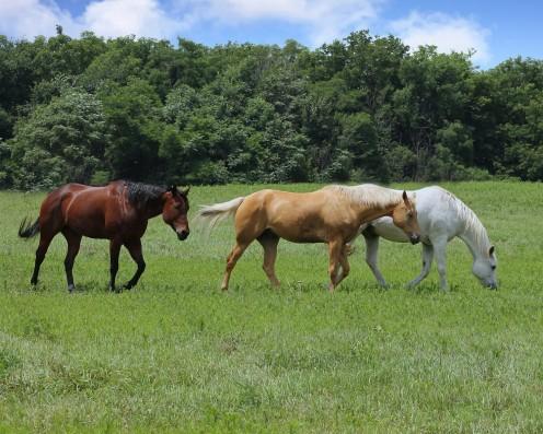 Three Beautiful Horses Walking In A Pasture