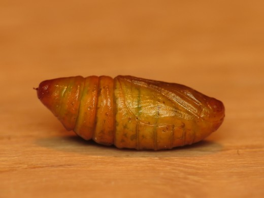 Winter moth cocoon (pupa)