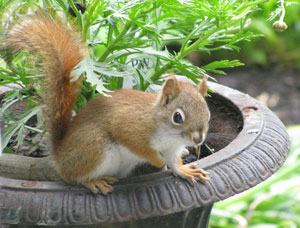 Cute red squirrels can be partially carnivorous too. They are endangered in Britain, so could you please trap, vaccinate, quarantine and rehome them here...