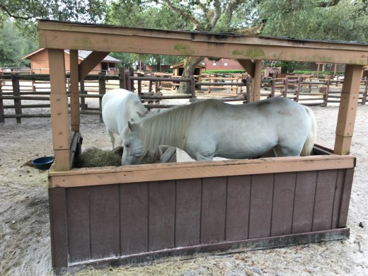 Some of the ponies that help pull Cinderella's carriage