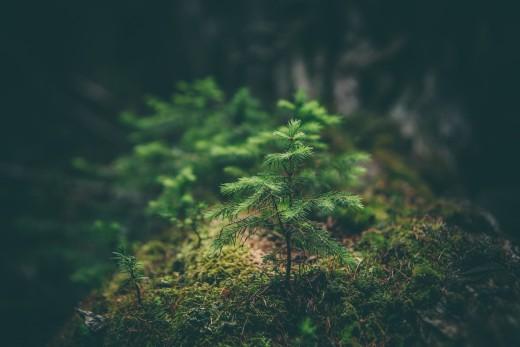 Conifer Ecosystem